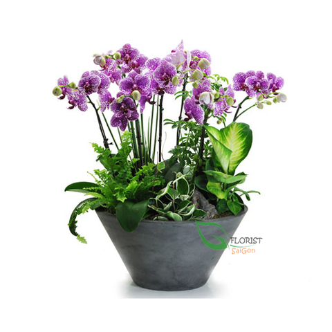 Orchid Plant Delivered HCM city