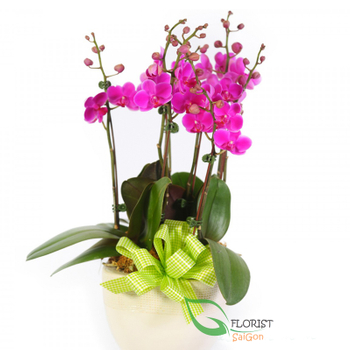 Purple moth orchid plants delivered Saigon