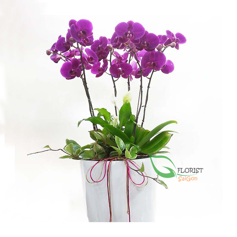 Send phalaenopsis orchid to Vietnam