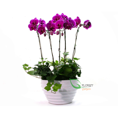 Violet phalaenopsis orchid flower in ceramic pot