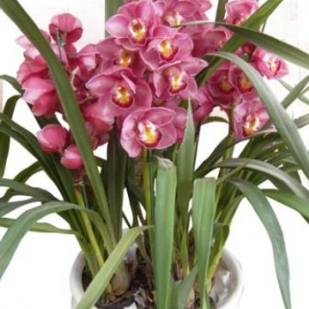 Send Cymbidium Flower To Saigon