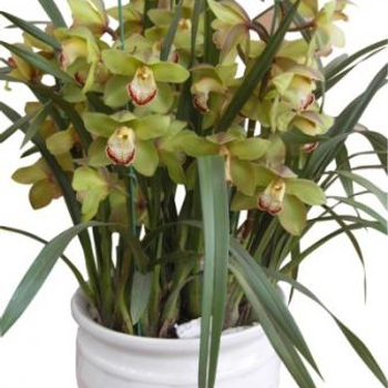 Cymbidium orchid arrangement delivery Saigon