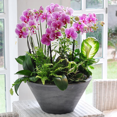 Phalaenopsis orchids delivered Saigon